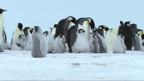 Emperor penguin chick calling Live Action