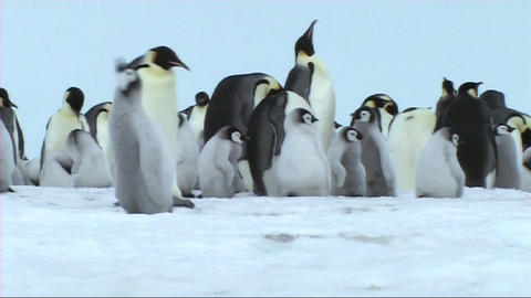 Emperor penguin chick calling Stock Video Footage