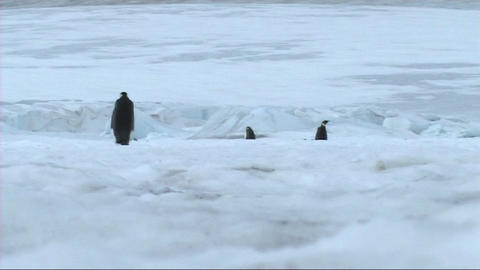 Emperor penguins leaving the colony Stock Video Footage
