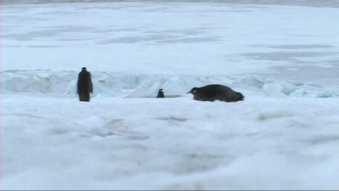 Emperor penguins leaving the colony Footage
