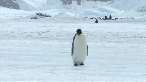 Lone emperor penguin walking Stock Video Footage