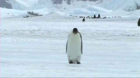 Lone emperor penguin walking Stock Video Footage