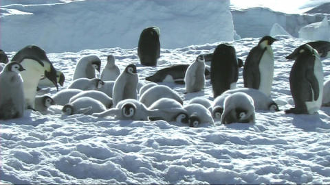 Emperor penguin chicks resting Stock Video Footage