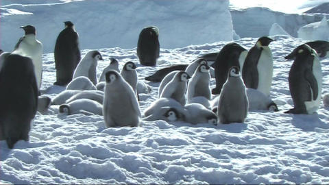 Emperor penguin chicks waiting Stock Video Footage