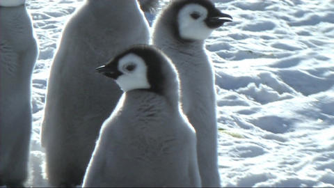 Emperor penguin chick Footage