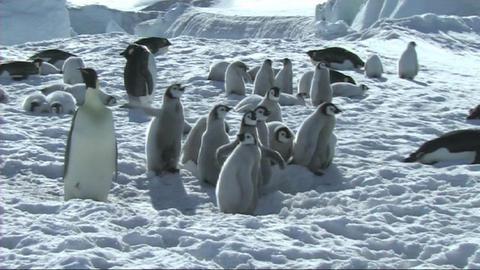 Emperor penguin chicks waiting Stock Video Footage