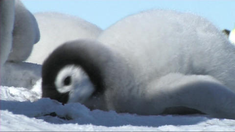 Emperor penguin chick resting Footage