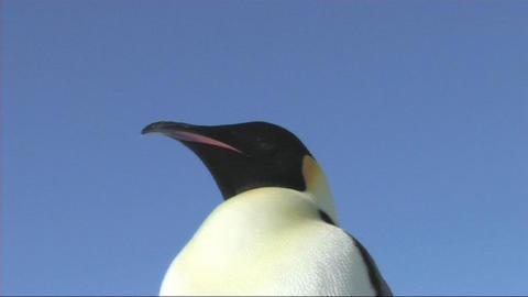 Emperor penguin close-up Stock Video Footage