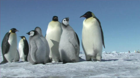 Emperor penguins waiting Live Action
