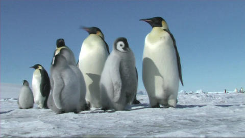 Emperor penguins waiting Stock Video Footage