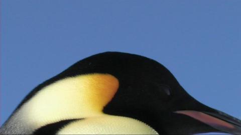 Emperor penguin close-up Footage