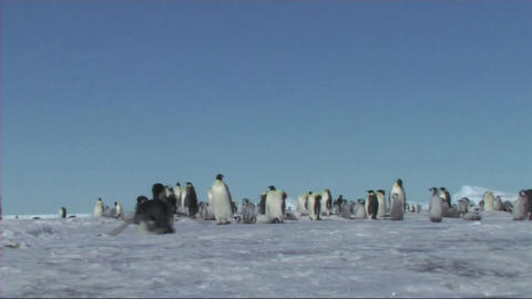 Emperor penguin Stock Video Footage