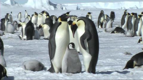 Emperor penguin family Stock Video Footage