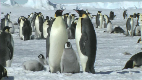 Emperor penguin family Stock Video Footage