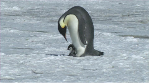 Emperor penguin with chick Stock Video Footage