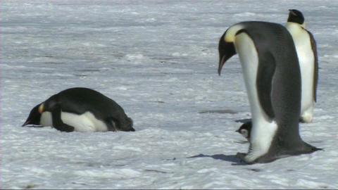 Emperor penguin with chick Footage