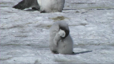 Emperor penguin chick sleeping Stock Video Footage