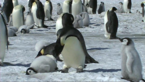 Emperor penguin lying down Stock Video Footage