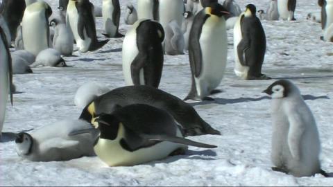 Emperor penguin lying down Stock Video Footage