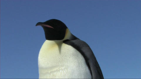 Emperor penguin head-to-toe Stock Video Footage