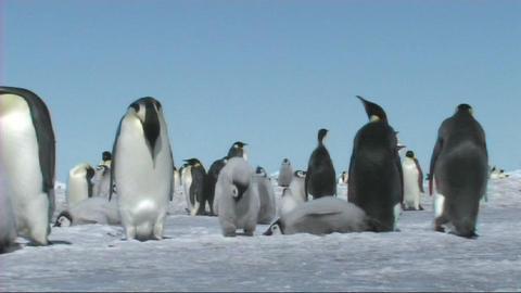 Emperor penguin copying mom/dad Stock Video Footage