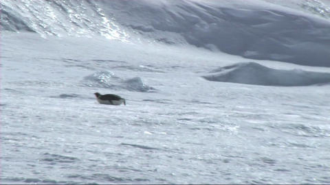 Emperor penguin sliding on the ice Stock Video Footage