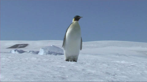Emperor penguin looking around Stock Video Footage