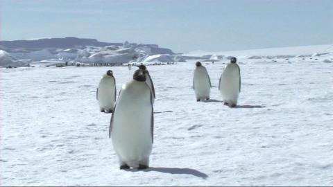 Emperor penguins walking Footage