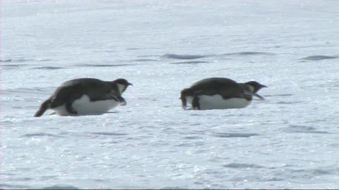Emperor penguins sliding on their belly Footage