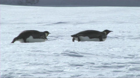 Emperor penguins sliding on their belly Stock Video Footage