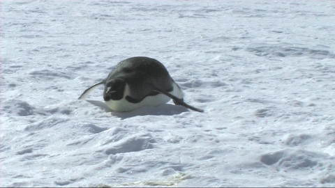 Emperor penguin sliding on its belly Footage