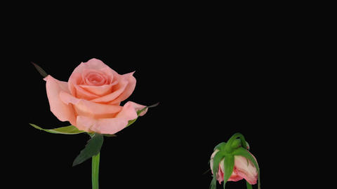 "Time-lapse of opening and dying ""Dream"" rose alpha matte 3d Stock Video Footage"