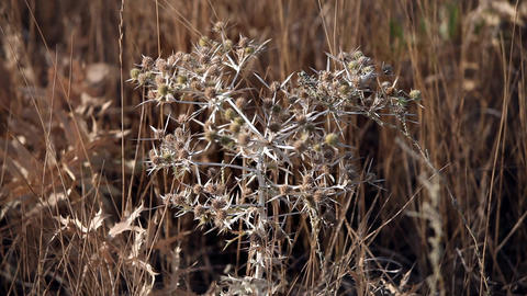 Thorn Tumbleweed Field stock footage