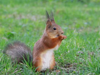 Squirrel eats sunflower seeds on the ground. Then  Footage