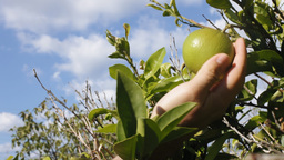 Citrus Orange Tree Sky Hand Close Up stock footage