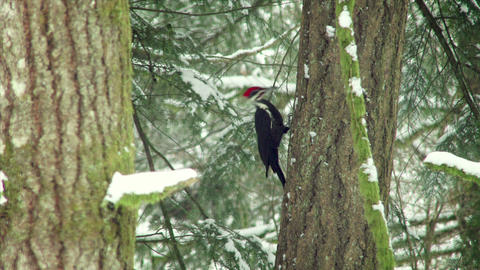 Woodpecker Pecking On A Tree In Winter stock footage