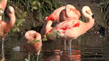 Flamingos Footage