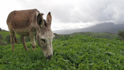 Donkey on Rainy Hillside Eating Grass 4 - FT0042 Footage