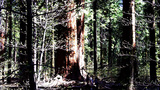 Family Walking In Giant Sequoia Tree Forest stock footage