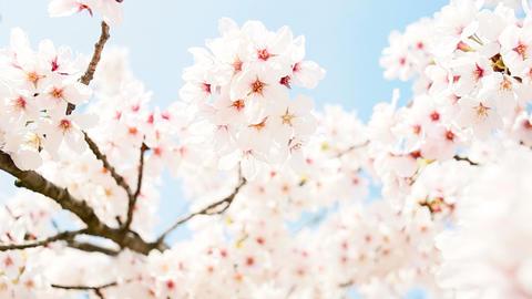 Yoshino cherry Footage