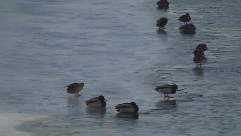 Ducks On Ice Footage