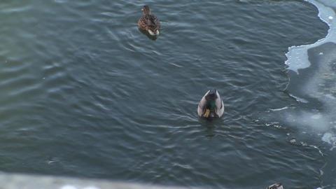Mallard Ducks On A Frozen River Footage