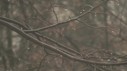 Rain Drops On Branches 2 Footage