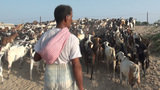 Herder guides his goats over the road in Iran Footage