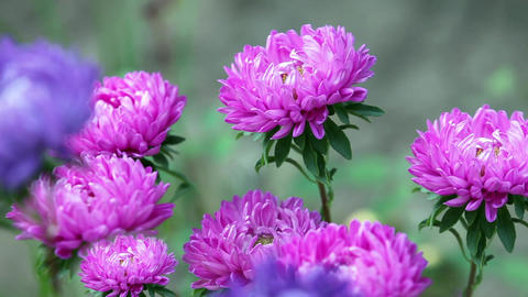 Bright flowers asters Footage
