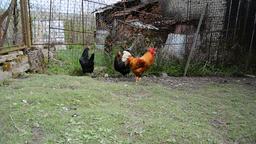 Farm animals Footage