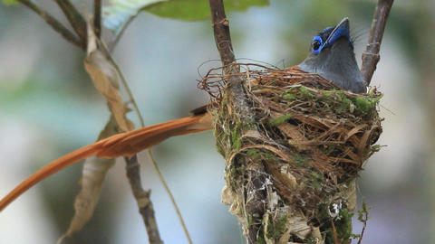 Asian Paradise Flycatcher stock footage