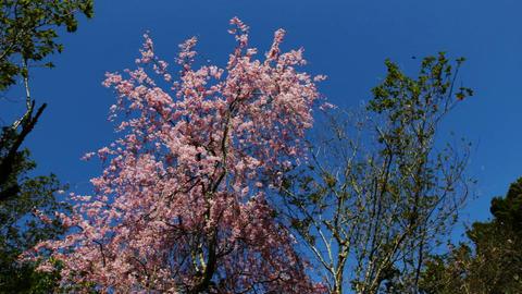 しだれ桜と春緑 stock footage