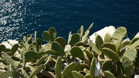 Agave Cactus Above Sea stock footage