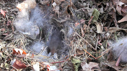 Baby Bunnies Hide In Brush stock footage
